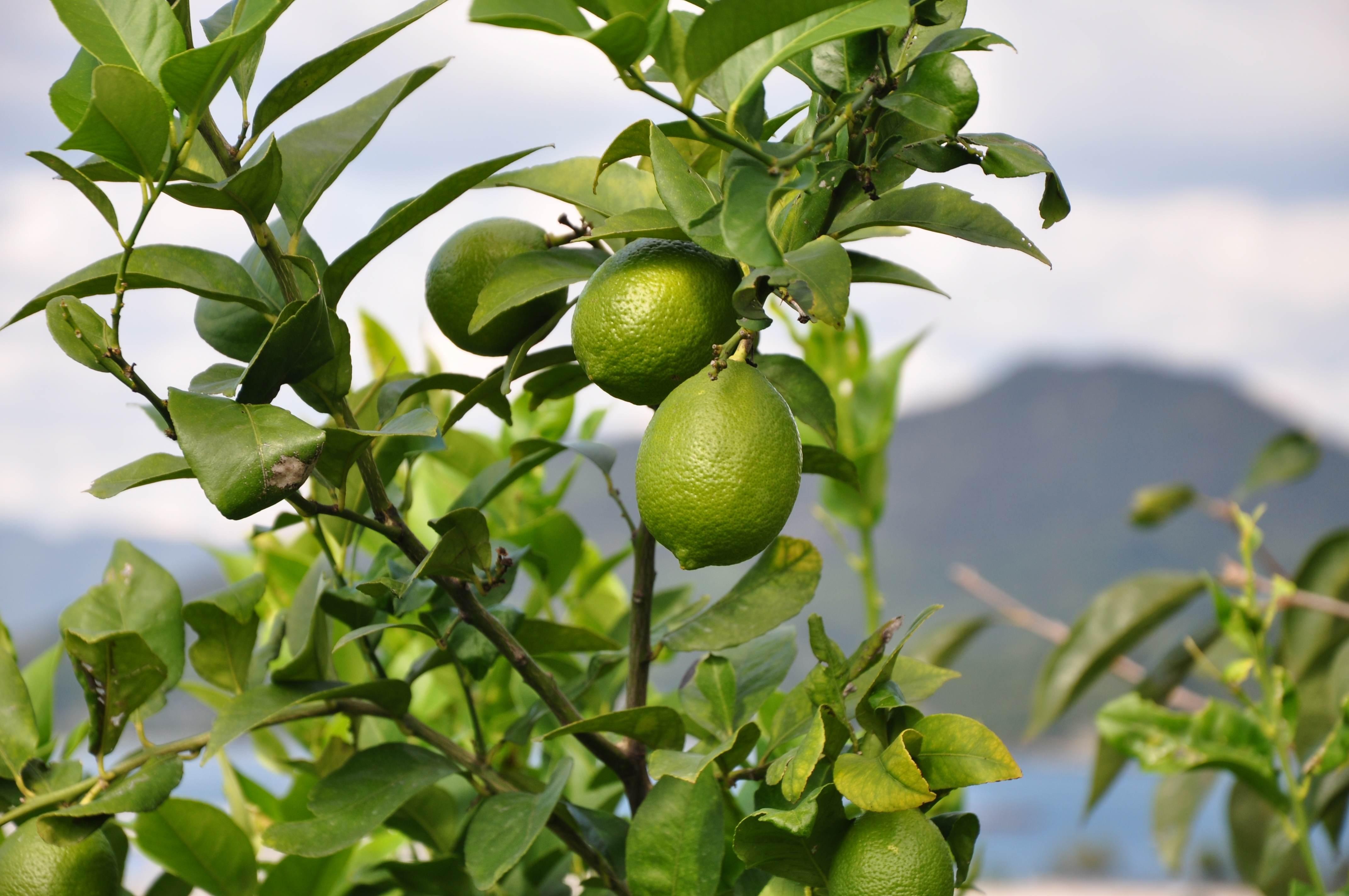 生口島は、国産レモン発祥の地