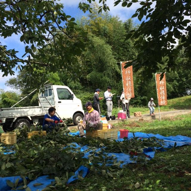 青渋柿の収穫体験会の様子