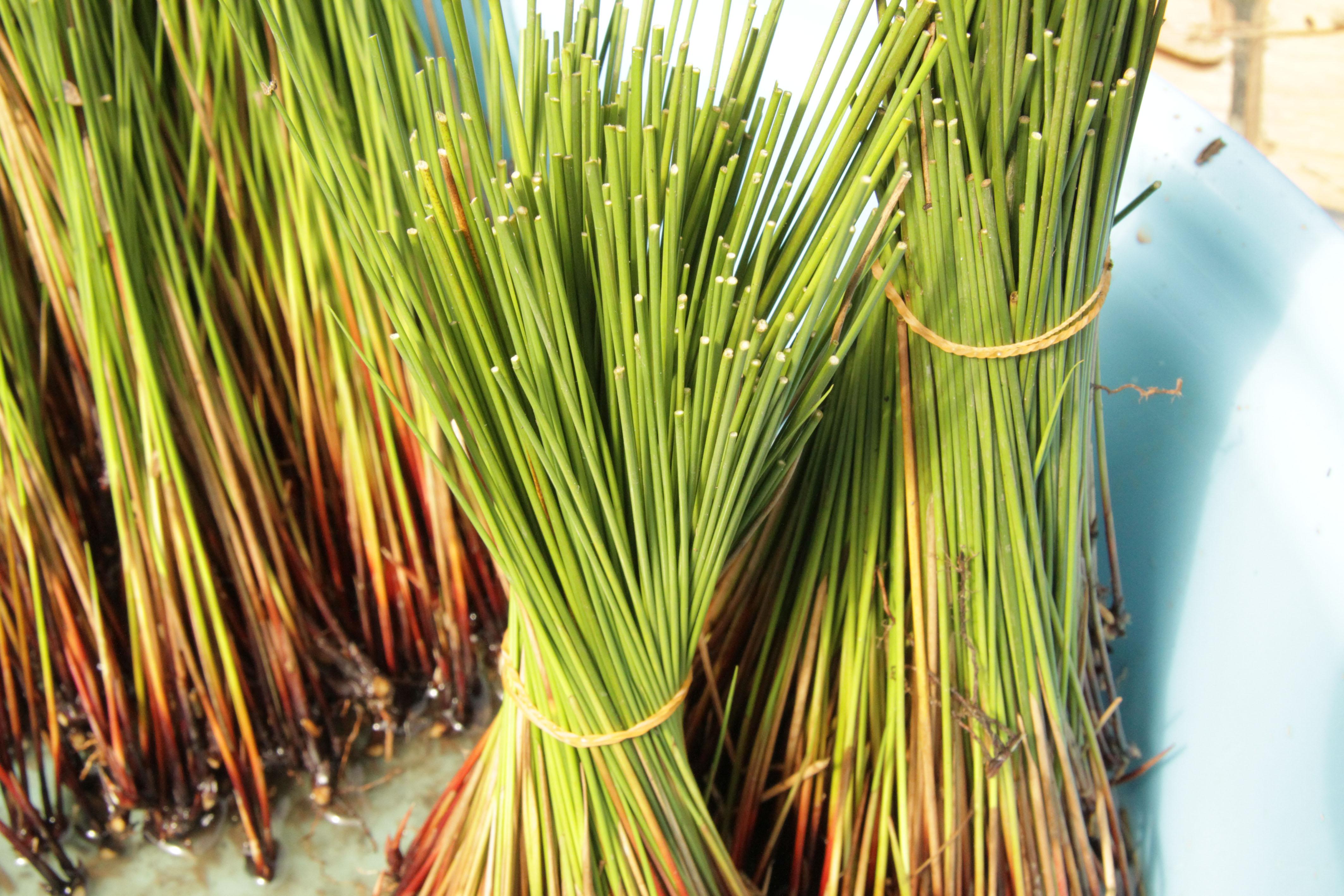 最高級の畳、備後畳表~い草の栽培や織る技術を若い世代に継承~ツネイシみらい財団の文化伝統支援