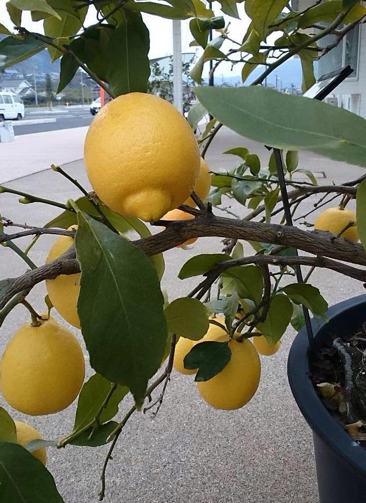 国産レモン生産量トップの瀬戸内
