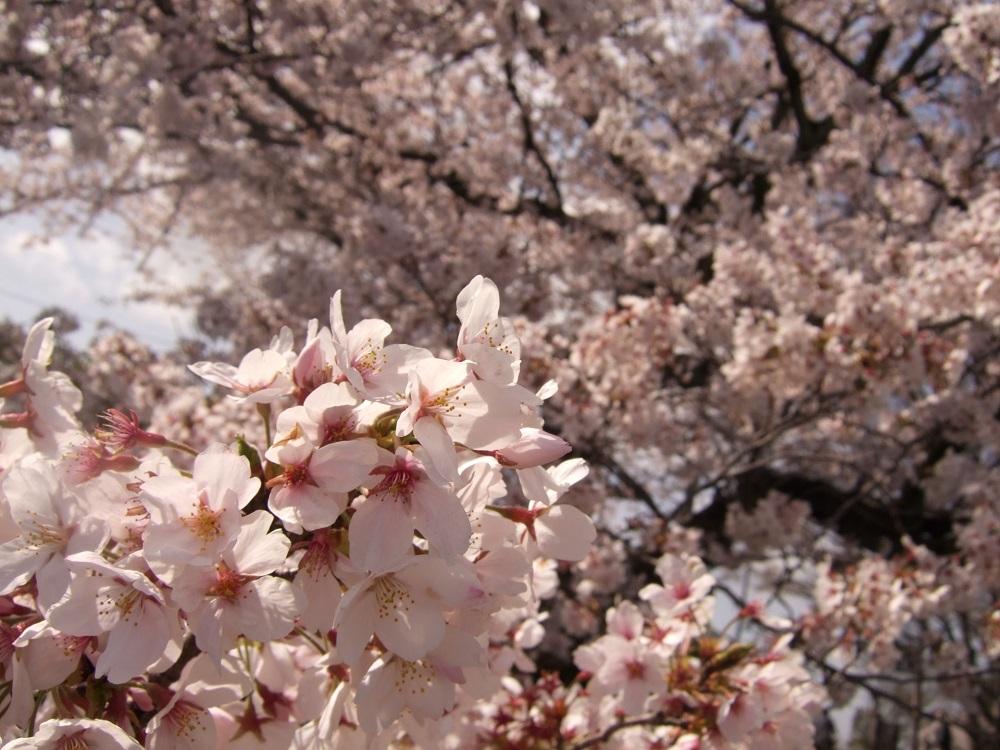 「桜の名所百選」に選ばれた尾道の桜