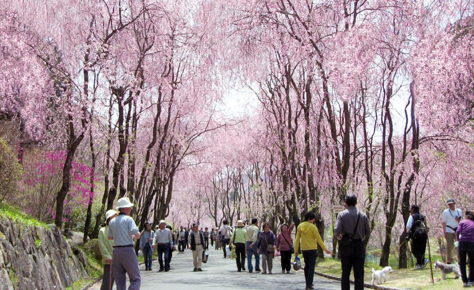"""4月1日いよいよオープン!250本のしだれ桜の並木道""""桜まつり2015""""世羅 甲山ふれあいの里"""