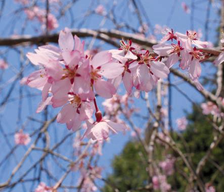 しだれ桜(枝垂れ桜)