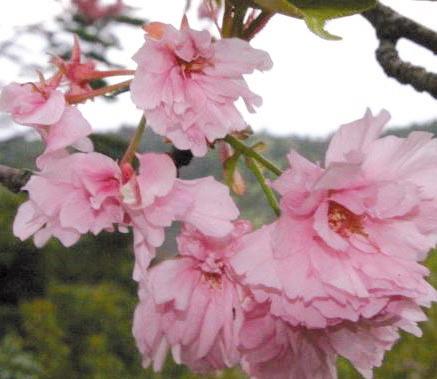 八重ざくら(八重桜)