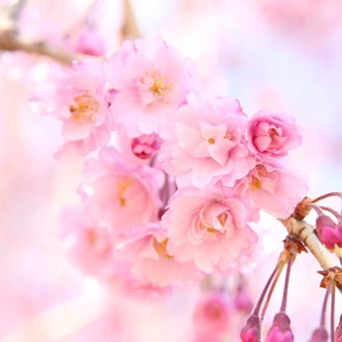 枝垂桜の下で愉しむ一服。神石高原ホテル「観桜茶会」4/15-16に開催