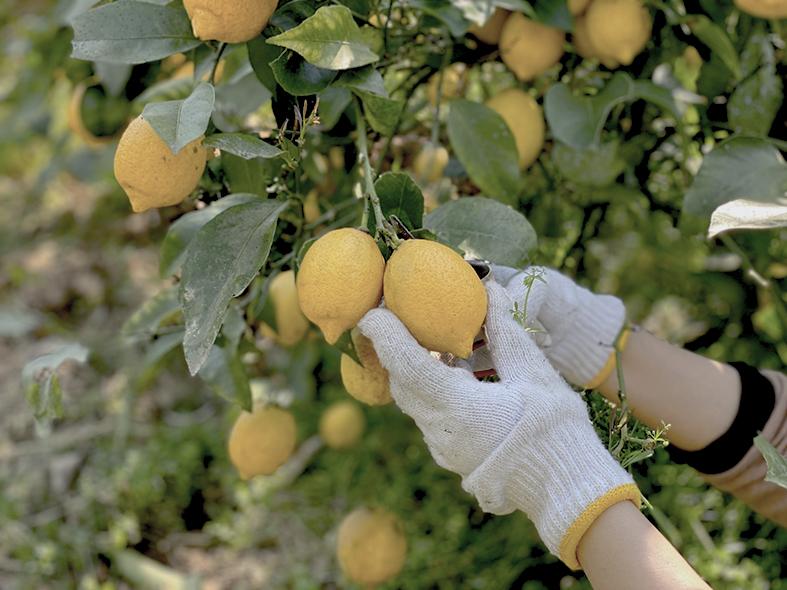 尾道産レモン